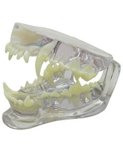 iM3 Canine Clear Jaw Model (IM3-D1055)