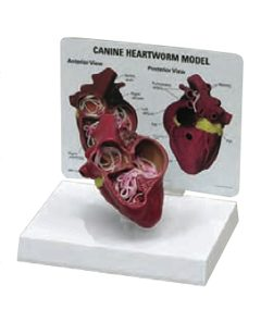 Heart Model with Heartworm (AM-300)